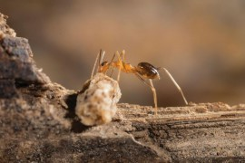 Yellow crazy ant taskforce go to battle