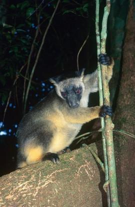 Students win award for tree-kangaroo mapping