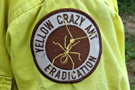 Authority takes to the skies to eliminate yellow crazy ants
