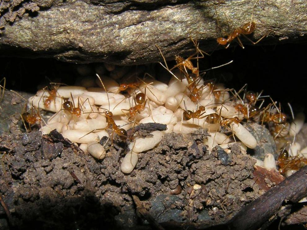 Yellow crazy ants targeted for eradication