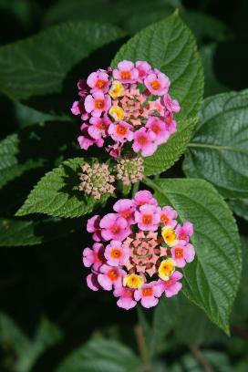 Lantana flowers Photographer: Campbell Clarke