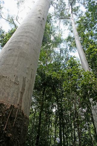 Eucalyptus grandis, wet sclerophyll,Kirrima Range RoadPhotographer: Campbell Clarke