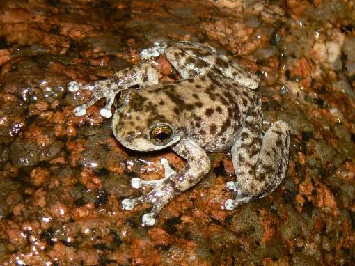 Armoured mistfrog (Litoria lorica) Photographer: Conrad Hoskin