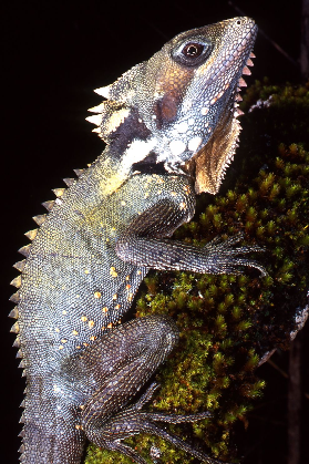 Boyds forest dragon Photographer: Mike Trenerry