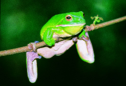 Green treefrog Photographer: Tourism Queensland
