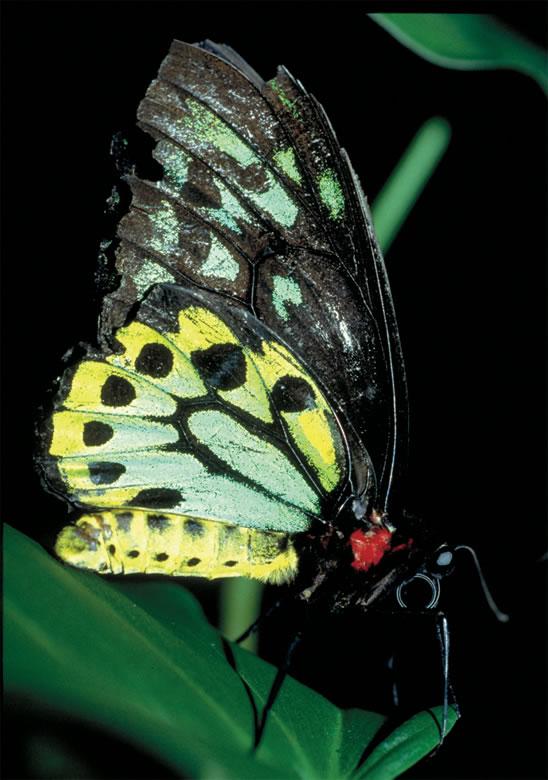 Ulysses Butterfly Rainforest Explorer