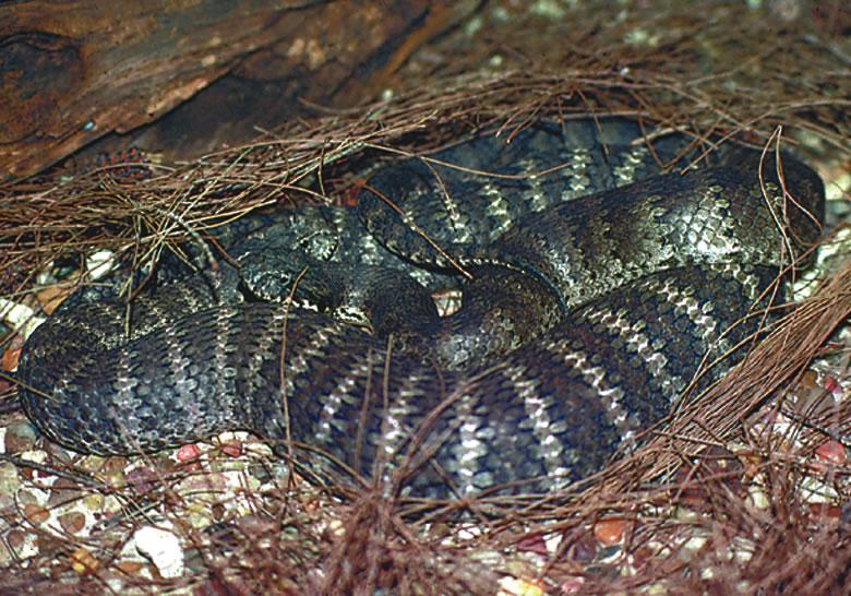 red tree python snake