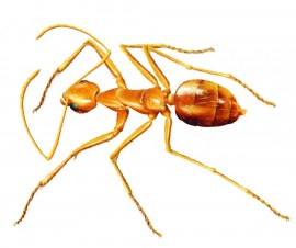 Yellow crazy ant eradication funding update
