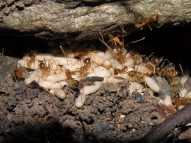 Wiseman Road West site declared free of yellow crazy ants