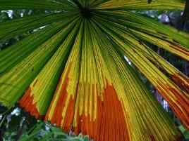 Licuala palm Photographer: Campbell Clarke