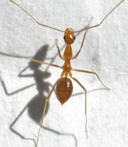 State matches $9 million for the Yellow Crazy Ant Eradication Program