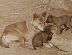 Wet Tropics maps aid dingo research