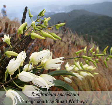 JCU: Wet Tropics critical for rock orchid