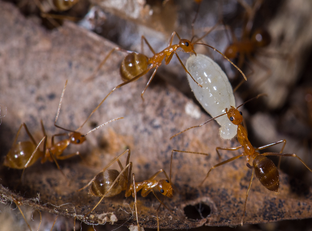Yellow Crazy Ant (YCA) workers with larvae Photographer: Jurgen Freund