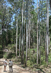 Eucalypt woodland. Mount Edith Road Photographer: Campbell Clarke