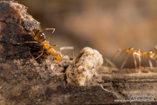 Yellow crazy ants Photographer: Jurgen Freund