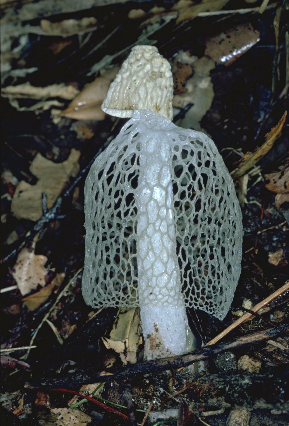 Bridal veil fungi Photographer: EPA