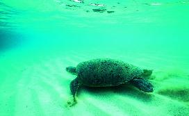 Green turtle Photographer: EPA