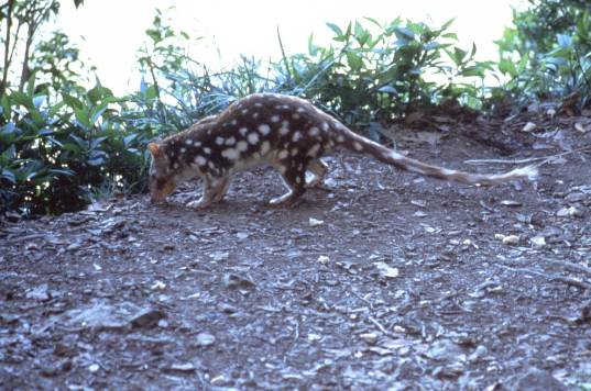 Spotted tailed quoll Photographer: EPA