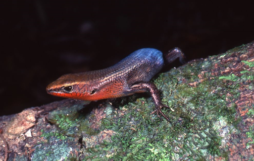 Northern Red-throated Skink Carlia rubrigularis male Photographer: Mike Trenerry
