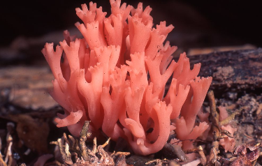 Coral fungus Photographer: Mike Trenerry