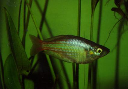 Freshwater fish   Wet Tropics Management Authority