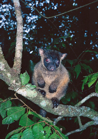 Lumholtz's tree-kangaroo Photographer: Mike Trenerry