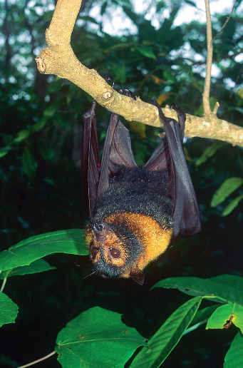 Spectacled flying fox Photographer: Mike Trenerry