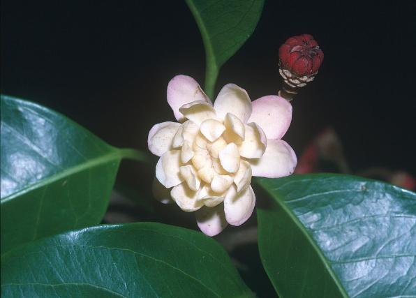 Idiospermum  australiense - a primitive flowering plant Photographer: WTMA