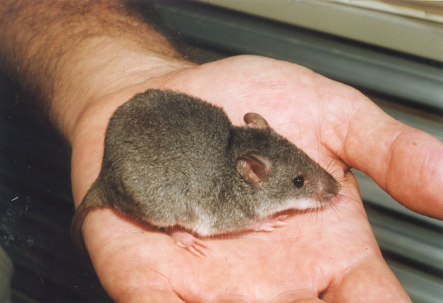 Water mouse population revealed in Cairns